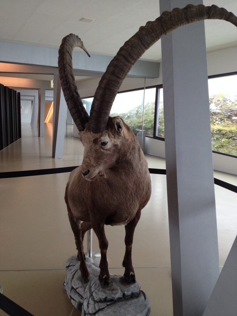 Гора Пилатус. Горный козел.