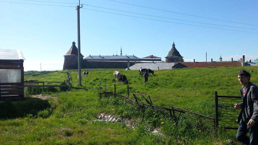 """Поселок Соловецкий. Вид на монастырь из кафе """"Соло"""" и утренний выгул коров."""
