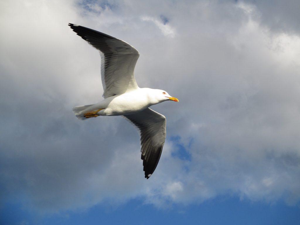 Толстая чайка в небе над Белым морем