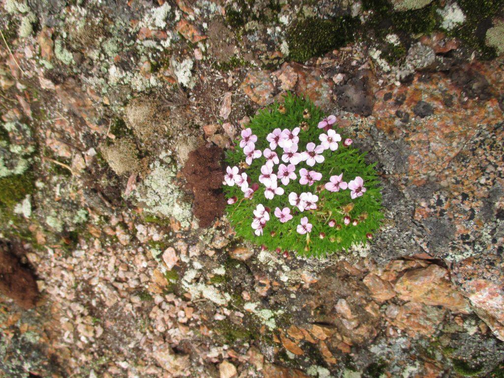 И на камнях растут цветы...