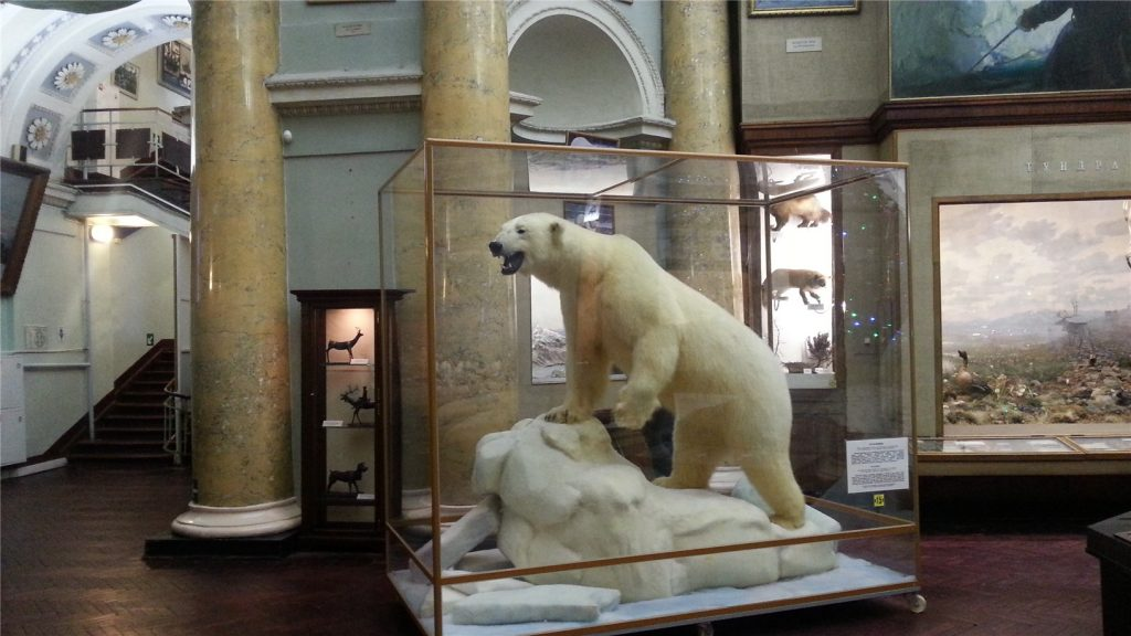 Музей Арктики и Антарктики. Белый медведь.