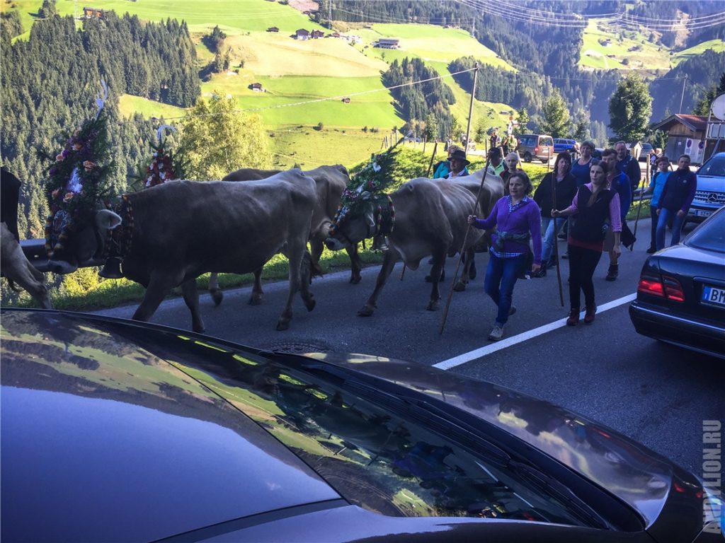 Коровий траффик в Альпах