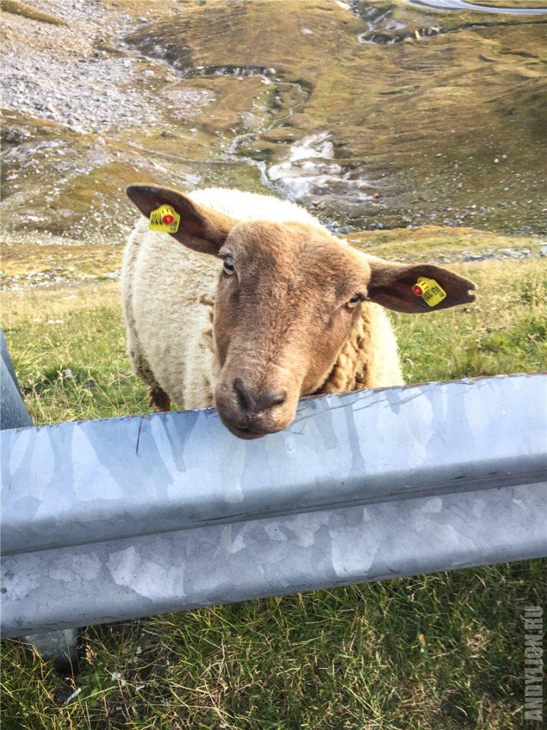 Альпийская овечка