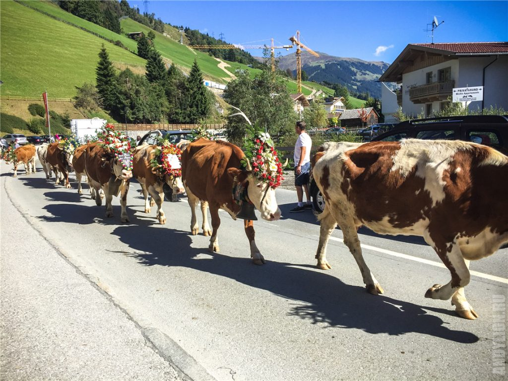 Возвращение коров с пастбищ. Праздник Альмабтриб.