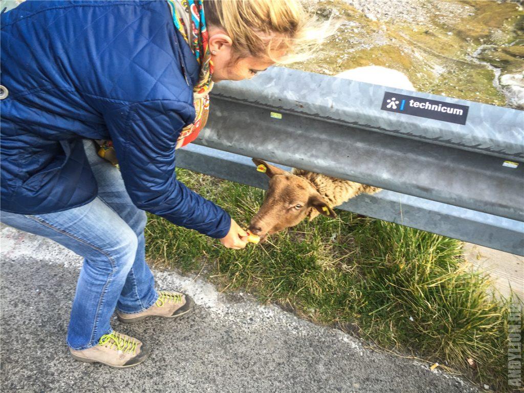 Аня кормит овечку на дороге Гросглокнер