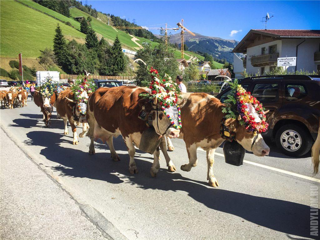 Нарядные коровы. Фестиваль Almabtrieb.