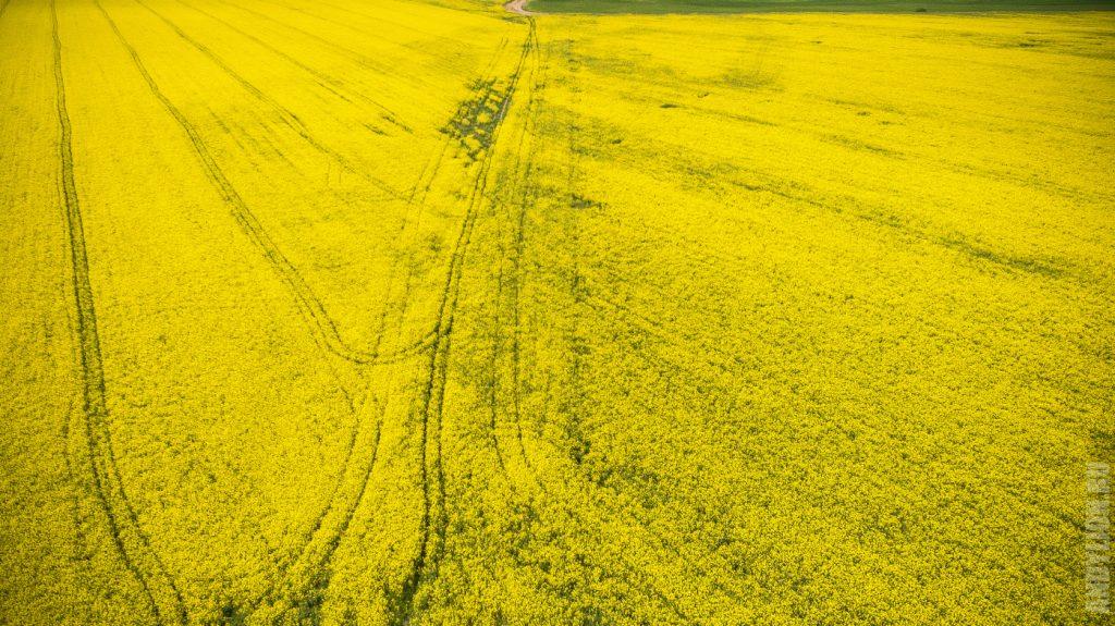 Бескрайние белорусские рапсовые поля