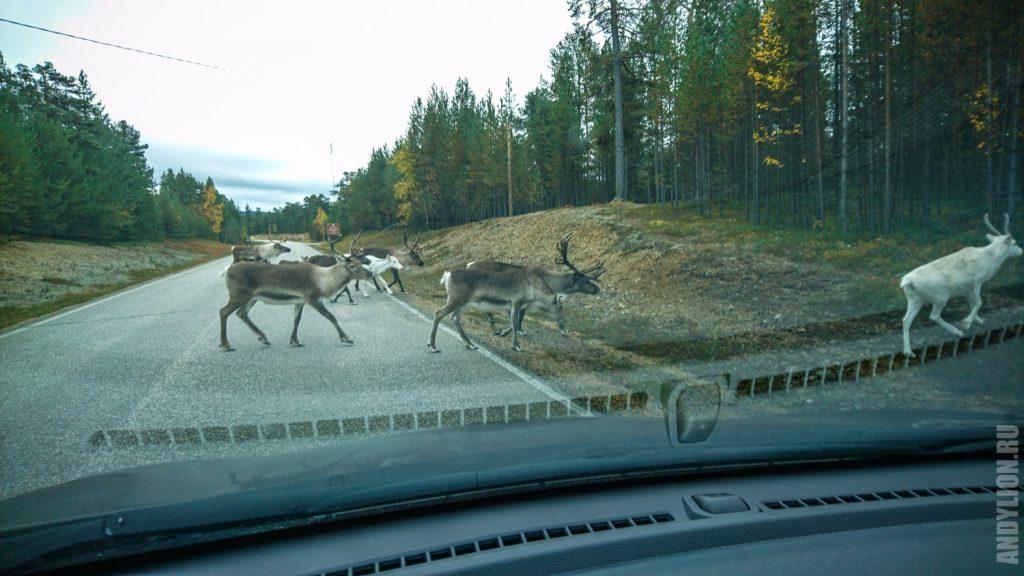 Олени на дороге в Финляндии