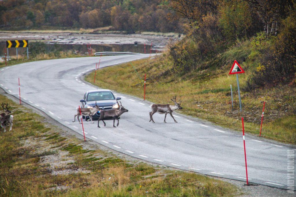 Норвегия. Олени переходят дорогу.