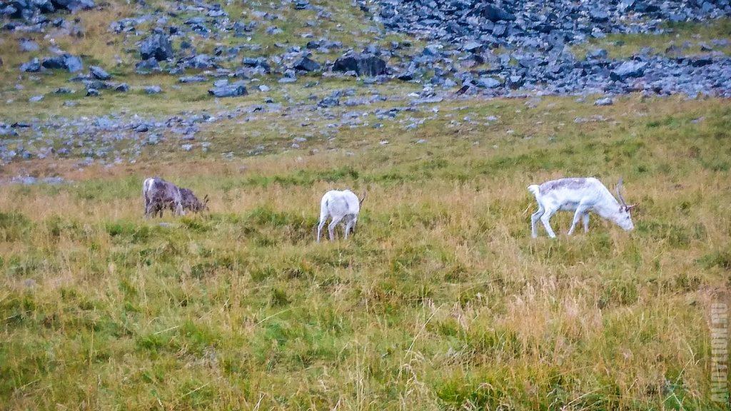 Олени в Норвегии